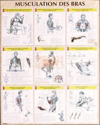 exercices pour la musculation des bras